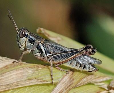 Red legged grasshopper Figure 3