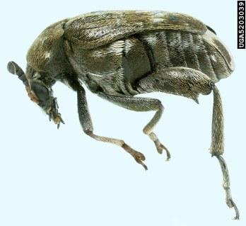 Pea weevil, Figure 2