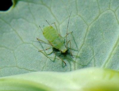 Pea aphid, Figure 2