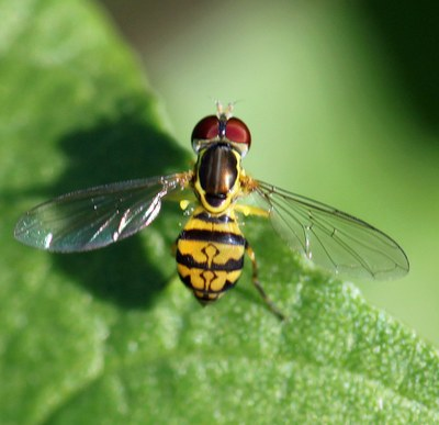 Syrphid fly, Figure 1
