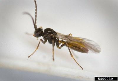 Aphidius wasp, Figure 1