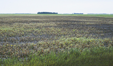 Figure 1. Damping-off of soybean in a field following heavy spring rains. (NDSU)
