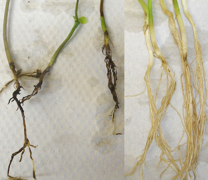 Figure 3. Three soybean seedlings showing root rot from Pythium, compared with five healthy seedlings on the right. (NDSU)