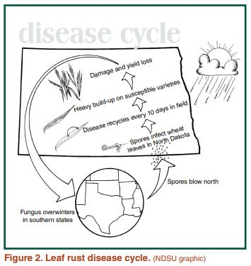. Leaf rust disease cycle
