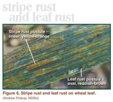 Stripe rust and leaf rust on wheat leaf