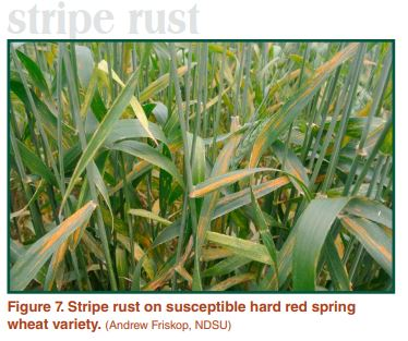 Stripe rust on susceptible hard red spring wheat variety
