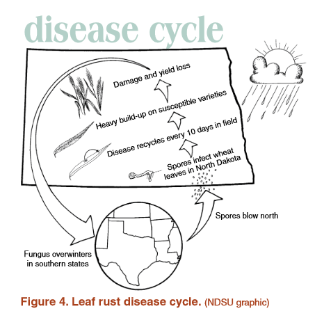 Leaf rust disease cycle