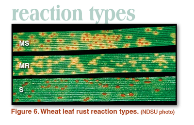Wheat leaf rust reaction types