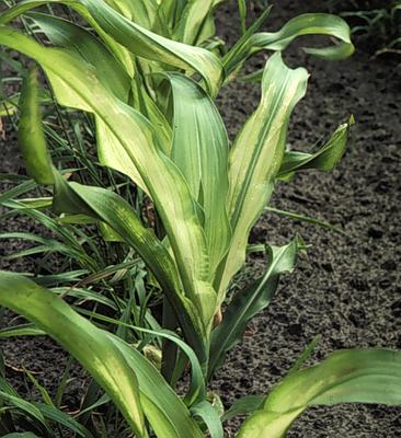 Zinc deficiency in corn