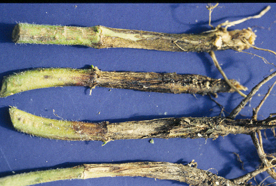Fusarium root rot, Photo by B Nelson, NDSU