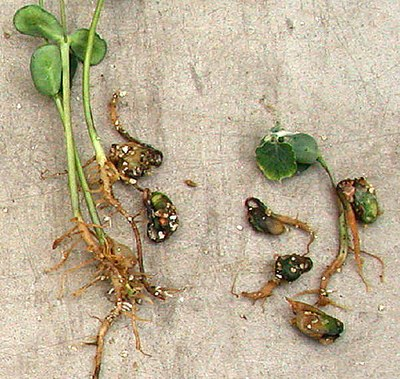 Page 3 Figure 1 Pythium root rot