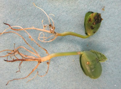 Page 3, Figure 3, Pythium root rot