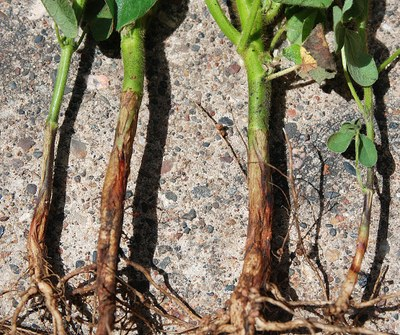Page 4, Figure 1 Rhizoctonia root rot