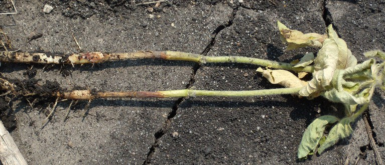 Page 4, Figure 2 Rhizoctonia root rot