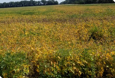 soybean field with severe Sclerotinia white mold