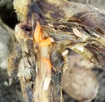 soybean gall midge larvae in stem