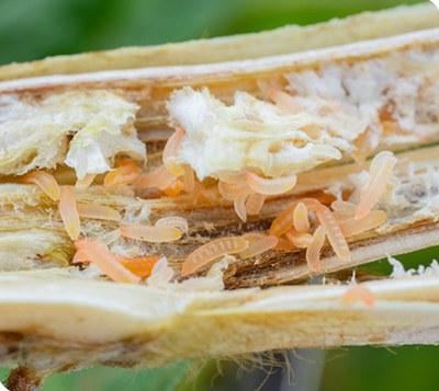 white-mold gall midge larvae feeding on white mold-infected stem