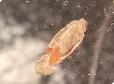 soybean gall midge larval cocoon from soil