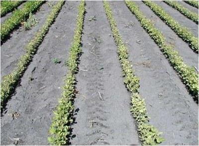 Figure 5 a Left 100 pounds of N/acre no oat cover crop