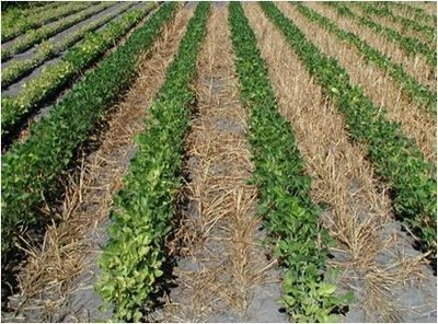 Figure 5b right No N with Oat cover crop