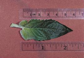 True Leaf 4 cm