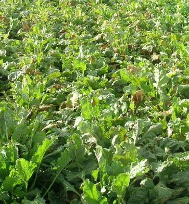 Powdery mildew on plants not treated