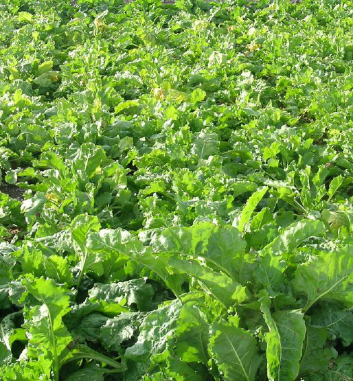 Powdery mildew-infected plants treated with Headline fungicide