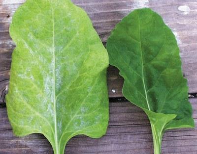 Sugar beet leaf showing symtoms of mildew vs healthy leaf