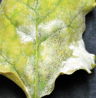 Sugar beet leaf with ascomata