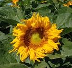 Sunflower Cover