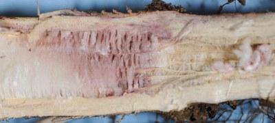 Fusarium root Figure 1