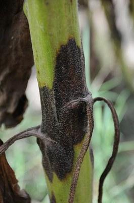 Phoma black stem Figure 1