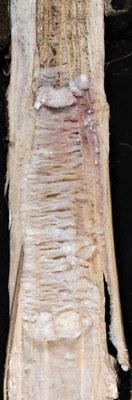 Fusarium root  Figure 2
