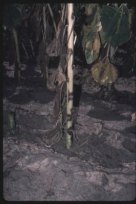 Phoma black stem Figure 2
