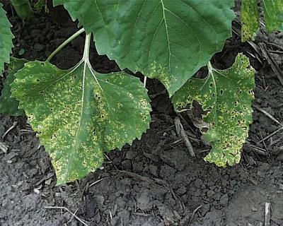 Alternaria leaf blight figure 4