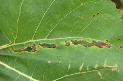 Bacterial leaf spot Figure 3