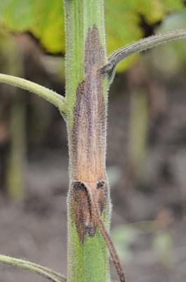 Phomopsis stem canker Figure 3 L