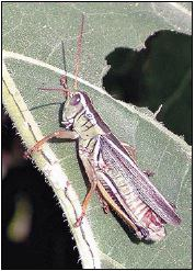 Adult – two-striped grasshopper