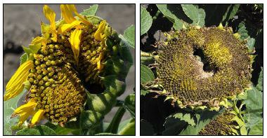 Sunflower head damaged by sunflower bud moth