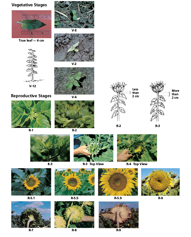 Stages of sunflower development.