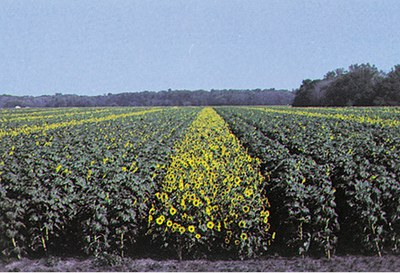 A hybrid seed production field of sunflower