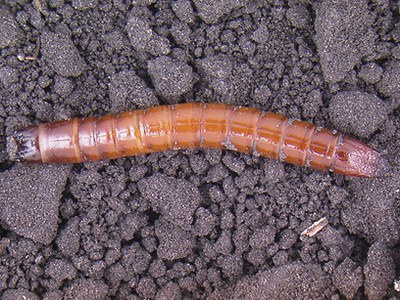 Wireworm larvae