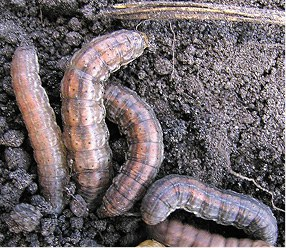 Larva – Redbacked cutworm