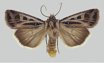 Adult – Dingy cutworm