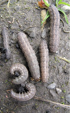 Larva – Dingy cutworm