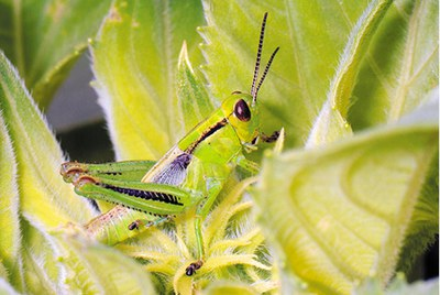 Nymph – two-striped grasshopper