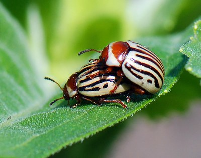 Two adult sunflower beetles