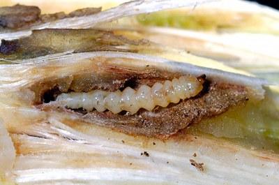 Dectes stem borer larva