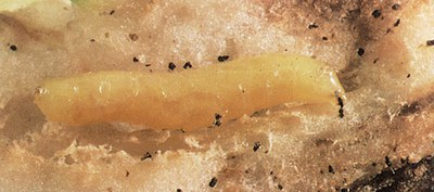 Sunflower maggot larva