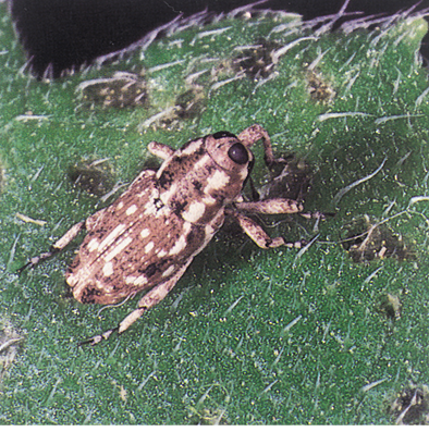 Adult sunflower stem weevil